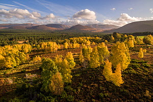 Autumnal birches in front of Rothiemurchus Forest and the Cairngorm mountain range, Scotland. - SCOTLAND: The Big Picture
