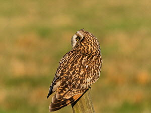 Short-eared owl (Asio flammeus) perched on a fence post. Tadham Moor, Tealham and Tadham Moor SSSI, Somerset Levels and Moors, England, UK. February.  -  Mike Read
