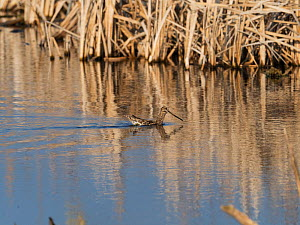 Common snipe (Gallinago gallinago) swimming in pool. Greylake Nature Reserve, near Othery, Somerset, England, UK. February. - Mike Read