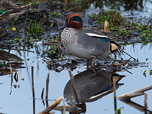 Common teal (Anas crecca) male standing in pool. Greylake Nature Reserve, near Othery, Somerset, England, UK. February.  -  Mike Read