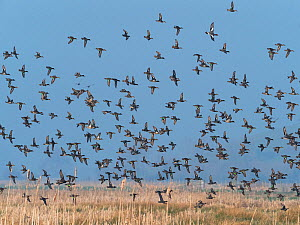 Common teal (Anas crecca) and Eurasian wigeon (Anas penelope) flock in flight. Greylake Nature Reserve, near Othery, Somerset, England, UK. February.  -  Mike Read