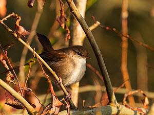 Cetti's warbler (Cettia cetti) perched on Willow (Salix sp) branch. Blashford Lakes Nature Reserve, Ellingham, near Ringwood, Hampshire, England, UK. February.  -  Mike Read