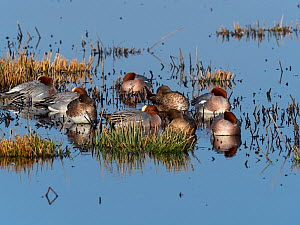 Eurasian wigeon (Anas penelope) flock resting at edge of pool, Greylake Nature Reserve, near Othery, Somerset Levels, England, UK. February.  -  Mike Read
