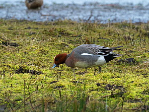 Eurasian wigeon (Anas penelope) feeding on a mossy bank. Greylake Nature Reserve, near Othery, Somerset Levels, England, UK. February.  -  Mike Read