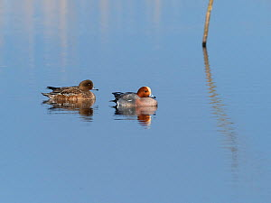 Eurasian wigeon (Anas penelope) pair on pool. Greylake Nature Reserve, near Othery, Somerset Levels, England, UK. February.  -  Mike Read