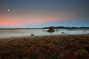 Ponies grazing around Holly (Ilex aquifolium) tree on heathland. Misty morning with moon overhead. Ocknell Plain and Broomy Bottomt, New Forest National Park, Hampshire, England, UK. September 2018.  -  Mike Read