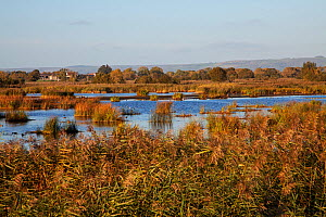 Reedbeds and pools with wildfowl including Mallard (Anas platyrhynchos), Gadwall (Anas strepera), Little egret (Egretta garzetta) and Coot (Fulica atra). From Avalon hide, Ham Wall RSPB Reserve, Avalo... - Mike Read