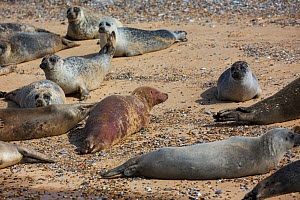 Common seal (Phoca vitulina) group including brown albino. Blakeney Point National Nature Reserve, Norfolk, England, UK. September. - Mike Read