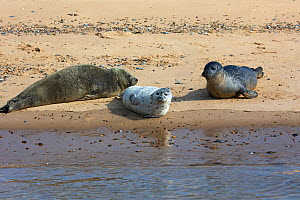 Common seal (Phoca vitulina) and Grey seal (Halichoerus grypus), three hauled out on sandy shore. Blakeney Point National Nature Reserve, Norfolk, England, UK. September. - Mike Read
