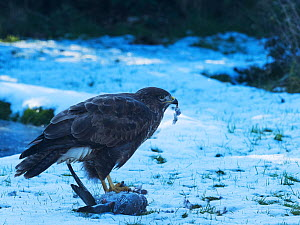 Common buzzard (Buteo buteo) feeding on dead Wood pigeon (Columba palumbus). Snow covered garden lawn, Ringwood, Hampshire, England, UK. February. - Mike Read