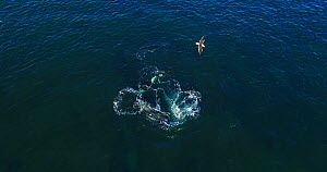 Aerial shot of Orcas (Orcinus orca) hunting offshore, stunning fish with tail, Peninsula Valdez, Patagonia Argentina - Gabriel Rojo