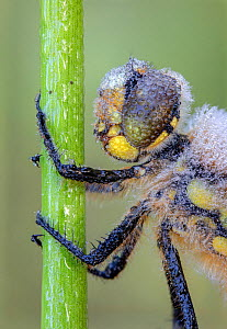 Four-spotted chaser (Libellula quadrimaculata) resting on stem, covered in early morning dew. Skipwith Common National Nature Reserve, North Yorkshire, England, UK. May. Focus stacked image. - Oliver Wright