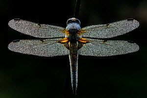 Four-spotted chaser (Libellula quadrimaculata) covered in early morning dew, on black background. Skipwith Common National Nature Reserve, North Yorkshire, England, UK. May. Focus stacked image.  -  Oliver Wright