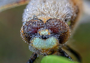 Four-spotted chaser (Libellula quadrimaculata) portrait, covered in early morning dew. Skipwith Common National Nature Reserve, North Yorkshire, England, UK. May. Focus stacked image.  -  Oliver Wright