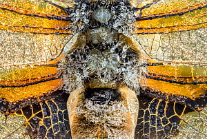 Four-spotted chaser (Libellula quadrimaculata), close up of thorax, abdomen and wings, covered in early morning dew. Skipwith Common National Nature Reserve, North Yorkshire, England, UK. May. Focus s...  -  Oliver Wright