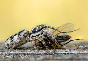 Zebra spider (Salticus scenicus) predating Fly (Diptera). Skipwith Common National Nature Reserve, North Yorkshire, England, UK. May. Focus stacked. - Oliver Wright