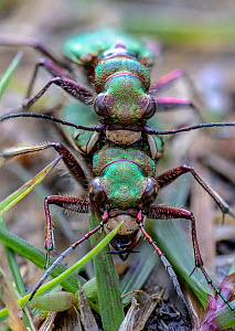 Green tiger beetle (Cicindela campestris) pair mating. Skipwith Common National Nature Reserve, North Yorkshire, England, UK. May. Focus stacked image.  -  Oliver Wright