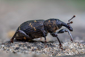 Pine weevil (Hylobius abietis). Skipwith Common National Nature Reserve, North Yorkshire, England, UK. May. Focus stacked image. - Oliver Wright