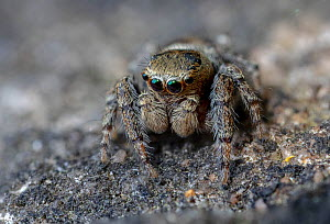 Jumping spider (Evarcha falcata). Skipwith Common National Nature Reserve, North Yorkshire, England, UK. May. Focus stacked image.  -  Oliver Wright