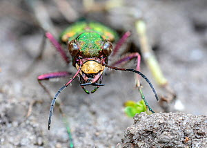 Green tiger beetle (Cicindela campestris). Skipwith Common National Nature Reserve, North Yorkshire, England, UK. May. Focus stacked image.  -  Oliver Wright