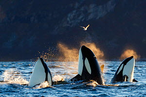 Killer whales / orcas (Orcinus orca). Spyhopping. Kvaloya, Troms, Norway October - Espen Bergersen