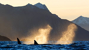 Killer whales (Orcinus orca) surfacing and blowing, spray backlit by autumn light, Kvaloya, Troms, Norway October - Espen Bergersen