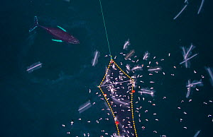 Aerial view of Humpback whales (Megaptera novaeangliae) investigating Herring (Clupea harengus) caught in fishing net, with gulls,. Kvaloya, Troms, Norway. December. November - Espen Bergersen
