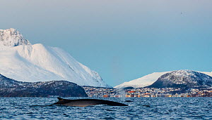 Fin whale (Balaenoptera physalus). In background is the small town Skjervay, Troms, Northern Norway. November  -  Espen Bergersen