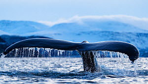 Humpback whale (Megaptera novaeangliae) showing tail fluke as it dives. Kvanangen, Troms, Norway. November - Espen Bergersen