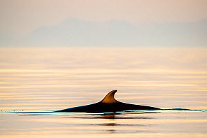 Minke whale (Baelanoptera acutorostrata) photographed just before midnight. Outside Andoya, Northern Norway. 22 nautical miles northwest of Andenes, Northern Norway. July  -  Espen Bergersen