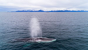 Aerial side view of Fin whale (Balaenoptera physalus) blowing. Kvanangen, Troms, Norway. November - Espen Bergersen