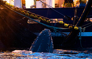 Humpback whale (Megaptera novaeangliae) feeding around herring fishing vessel. Kvanangen, Troms, Norway. November  -  Espen Bergersen