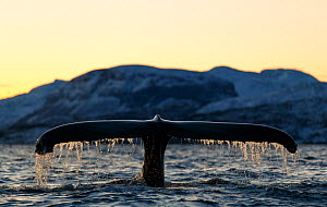 Humpback whale (Megaptera novaeangliae) showing tail fluke as it dives. Kvanangen, Troms, Norway. December - Espen Bergersen