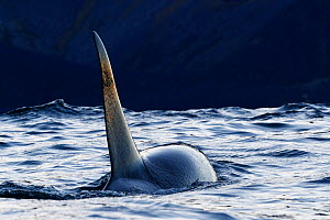Killer whale / orca (Orcinus orca) male. Kvaloya, Troms, Norway October - Espen Bergersen