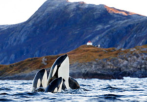 Killer whales / orcas (Orcinus orca) two spyhopping. Kvaloya, Troms, Norway October  -  Espen Bergersen