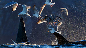 Gulls and Killer whales / orcas (Orcinus orca) feeding on herring. Kvaloya, Troms, Norway October  -  Espen Bergersen