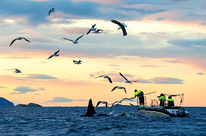 Tagging of Killer whales / orcas (Orcinus orca) with camera tag. Troms, Norway. November. - Espen Bergersen
