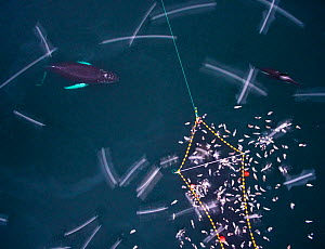 Aerial view of Humpback whales (Megaptera novaeangliae) and Killer whales / orcas (Orcinus orca) investigating Herring (Clupea harengus) caught in fishing net, with gulls, Norway. December.  -  Espen Bergersen