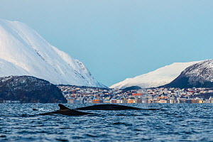 Fin whale (Balaenoptera physalus). In background is the small town Skjervoy, Troms, Northern Norway.  -  Espen Bergersen