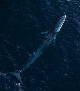 Aerial view of Fin whale (Balaenoptera physalus) Troms, Norway. November  -  Espen Bergersen
