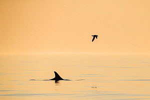 Risso's dolphin (Grampus griseus) and fulmar photographed just before midnight. Outside Andoya, Northern Norway. November.  -  Espen Bergersen