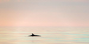 Minke whale (Baelanoptera acutorostrata) photographed just before midnight. Outside Andoya, Northern Norway. November.  -  Espen Bergersen