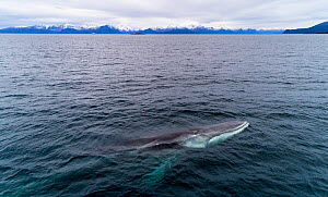Aerial view of Fin whale (Balaenoptera physalus) Norway. November.  -  Espen Bergersen