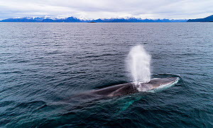 Aerial view of Fin whale (Balaenoptera physalus) Norway. November  -  Espen Bergersen
