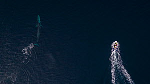 Aerial view of Fin whale (Balaenoptera physalus) and boat. Norway, November. - Espen Bergersen