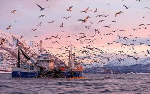 Herring boat with net full of Herring (Clupea harengus) with large flock of gulls flying nearby, Norway. November 2018.  -  Espen Bergersen