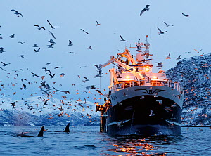 Killer whales / orcas (Orcinus orca) and gulls around a boat, Norway. November.  -  Espen Bergersen