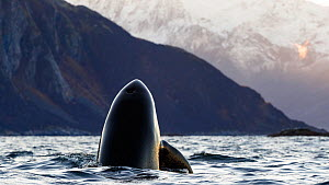 Killer whale (Orcinus orca) spyhopping in coastal waters, snow covered mountains in background. Troms, Norway. October.  -  Espen Bergersen