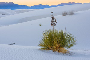 Soaptree yucca (Yucca elata) and gypsum sand dunes at sunset, with San Adres mountains in distance. White Sands National Park, New Mexico, USA. January. - John Shaw