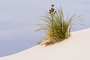 Soaptree yucca (Yucca elata) on the gypsum sand dunes at White Sands National Park, New Mexico, USA. January. - John Shaw